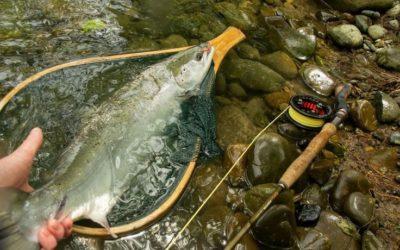 Un saumon remis à l'eau puis contrôlé en station de vidéocomptage!