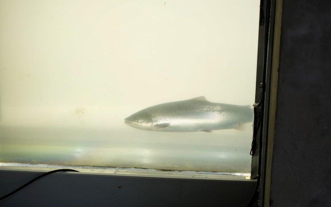 Reprise automnale des migrations de saumons…en douceur